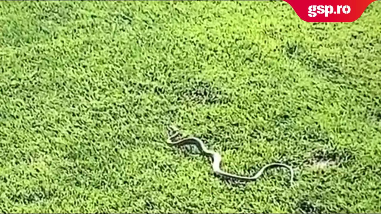 Imagini incredibile la Botoșani, înainea meciului cu Academica Clinceni! Un șarpe și-a făcut de cap pe gazon